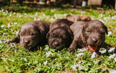Puppy prices soar during coronavirus lockdown