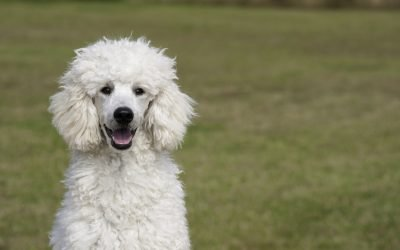 Pedigree and Chappie dry dog-Recall
